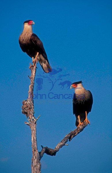 Crested Caracaras (Polyborus plancus) - Texas