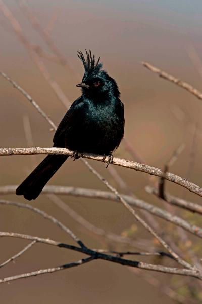 Phainopepla (Phainopepla nitens) - Arizona - Male