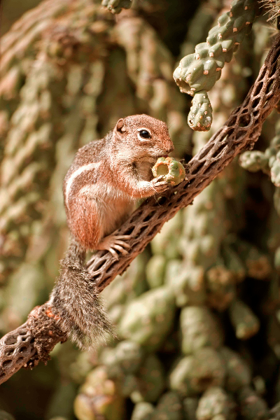 Harris' Antelope Squirrel (Ammospermophilus harrisi) - Arizona