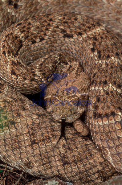 Western Diamondback Rattlesnake (Crotalus atrox) - Texas