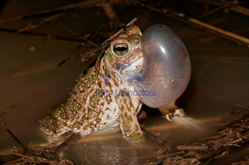 Great Plains Toad (Bufo cognatus)-Arizona-Male calling
