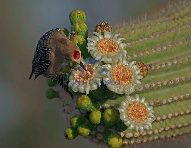 Gila Woodpecker Feeds on Saguaro Blossom