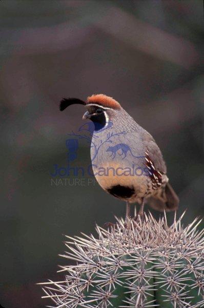 Gambel\'s Quail  (Callipepla gambelii) - Arizona