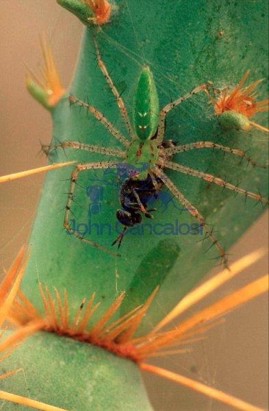 Green Lynx Spider (Puecetia viridans) - Texas