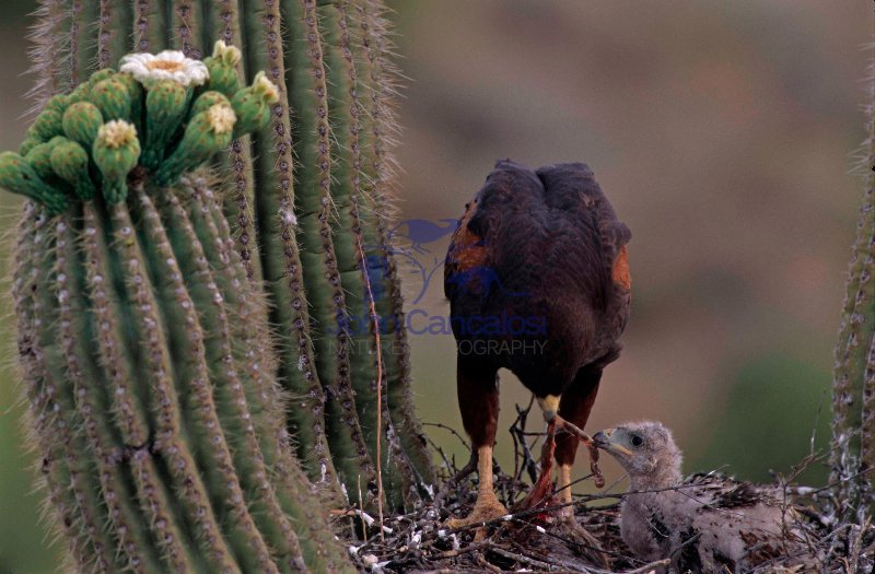Harris\' Hawk (Parabuteo unicinctus) - feeding young - Arizona