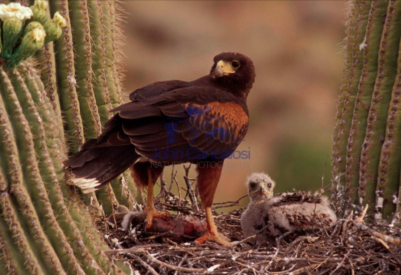 Harris\' Hawk (Parabuteo unicinctus) - On nest with young - Arizo
