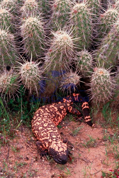 Gila Monster-Arizona
