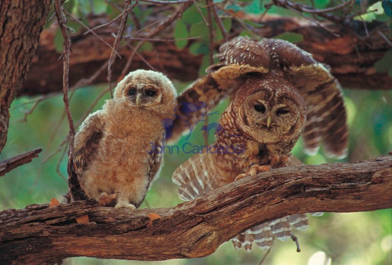 Mexican Spotted Owl (Strix occidentalis lucida) Adult and Young