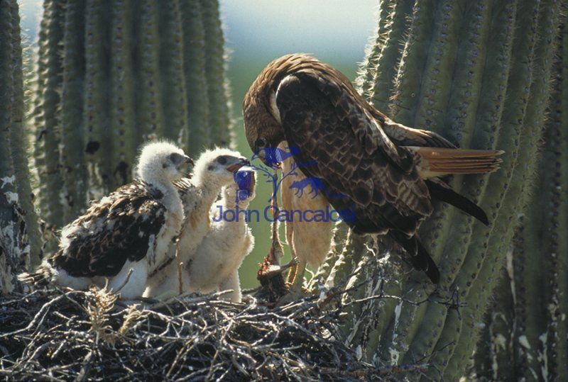 Harris\' Hawk- feeding young - Arizona