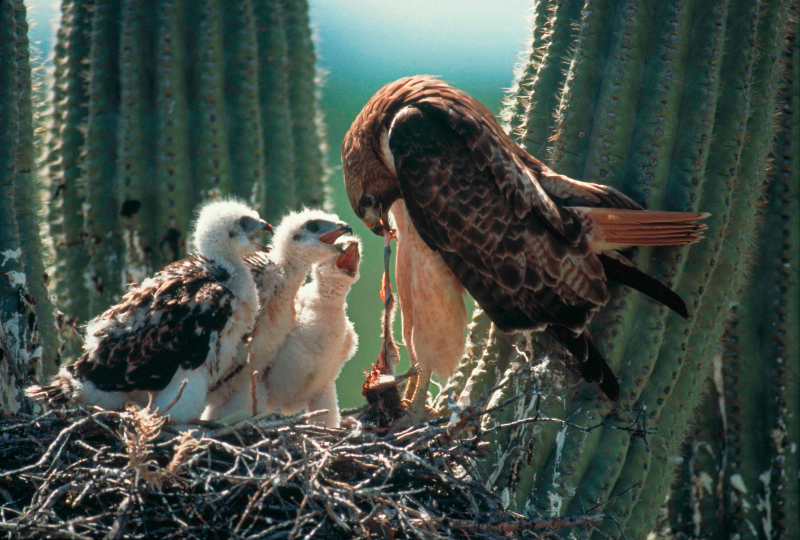 Harris' Hawk- feeding young - Arizona