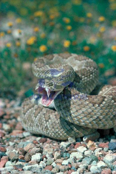 Mojave Rattlesnake (Crotalus scutulatus) Arizona