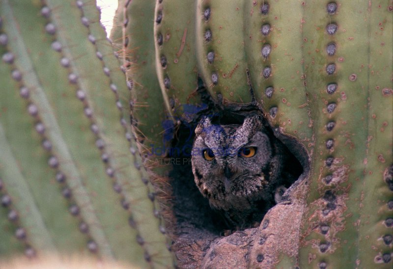 Western Screech-Owl  (Otus kennicottii) - Arizona
