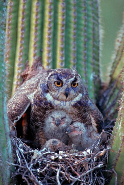 Great Horned Owl (Bubo virginianus) - Arizona