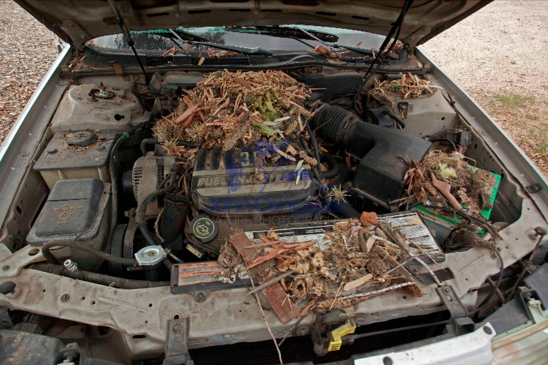 White-troated packrat nest in engine compartment - Arizona