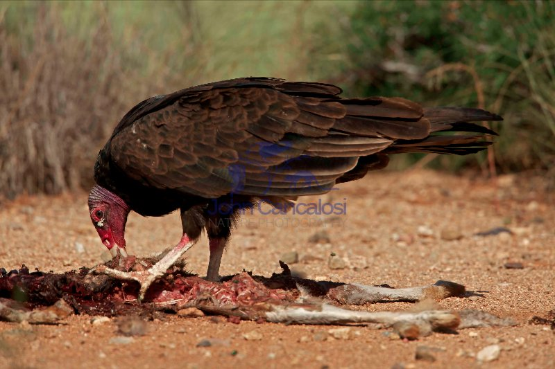 Turkey Vulture - Cathartes aura - Sonoran desert  - Arizona - Fe