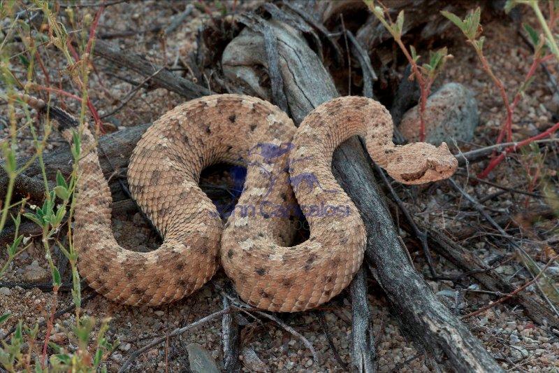 Sidewinder (Crotalus cerates) - Sonoran desert - Arizona