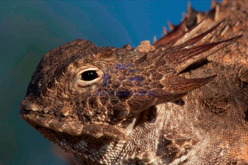 Regal horned lizard (Phrynosoma solare) - Sonoran desert - Arizo
