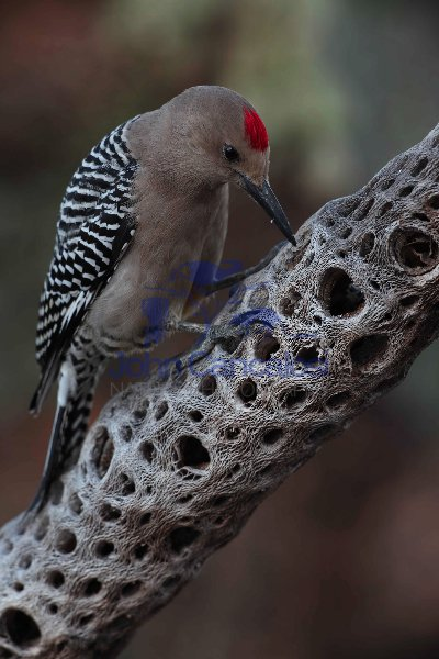 Gila Woodpecker (Melanerpes uropygialis)-Sonoran desert -Arizona