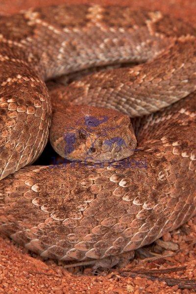 Western Diamond-backed Rattlesnake(s) - Crotalus atrox -Az.