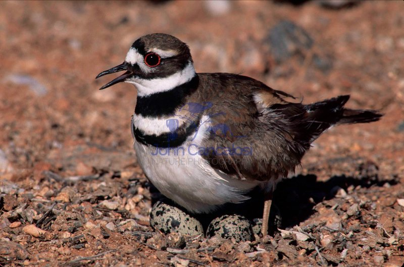 Killdeer (Charadrius vociferus) - On nest with eggs