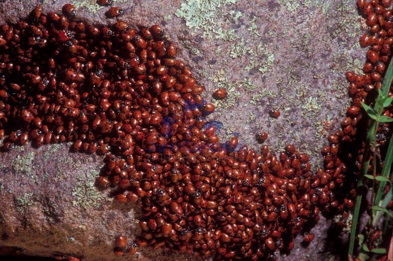Ladybird Beetles (ladybug) (Hippodamia convergens) - Congregatio