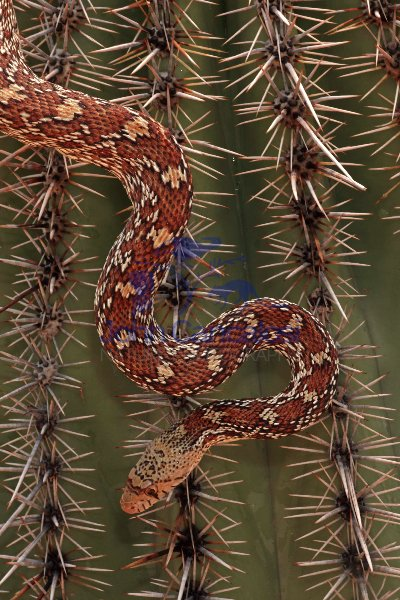 Sonoran Gopher Snake (Pituophis catenifer affinis)-AZ-USA
