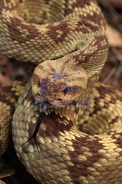 Black-tailed Rattlesnake (Crotalus molossus) - Arizona - USA