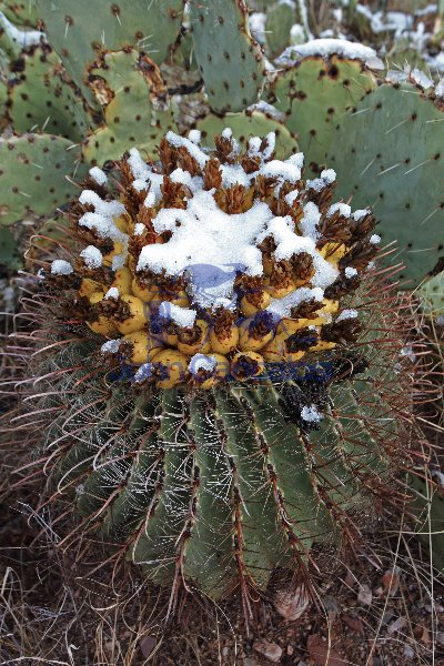 Fishhook Barrel Cactus With Fruit in Snow - Arizona - USA