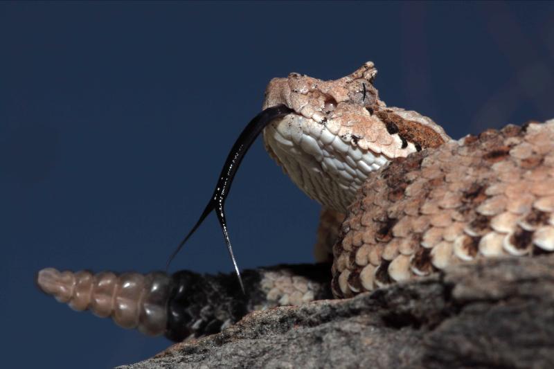 Sonoran Desert Sidewinder (Crotalus cerastes) - Arizona USA