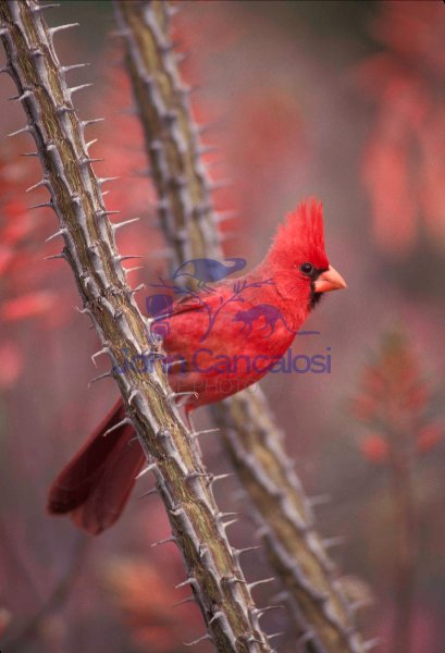 Northern Cardinal (Cardinalis cardinalis) - Arizona