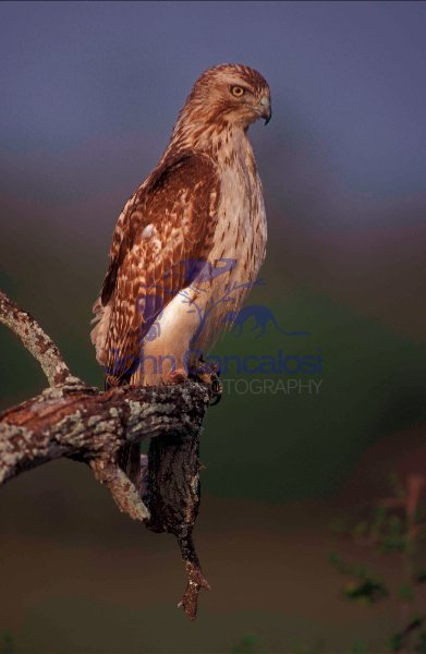 Red-tailed Hawk (Buteo jamaicensis) - Texas