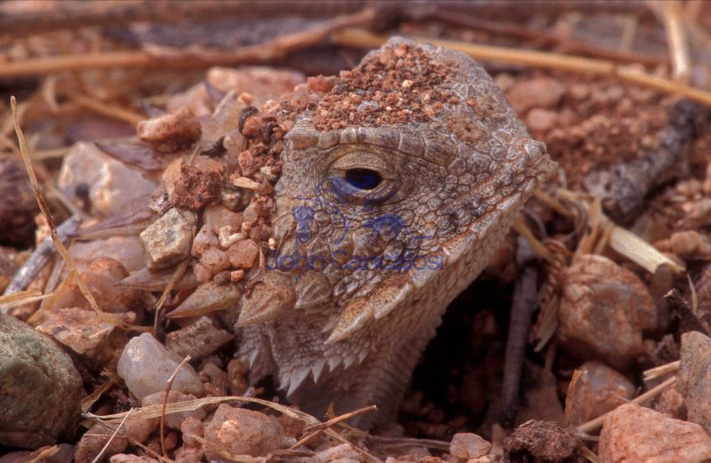 Regal Horned Lizard (Phrynosoma solare) - Arizona - USA