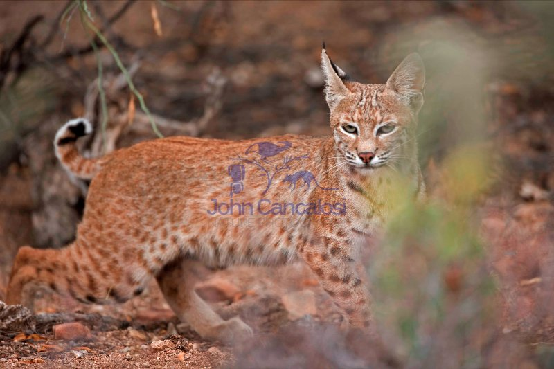 Bobcat (Lynx rufus) - Arizona