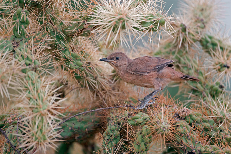 Curve-billed Thrasher Fledgling (Toxostoma curvirostre) - Arizon