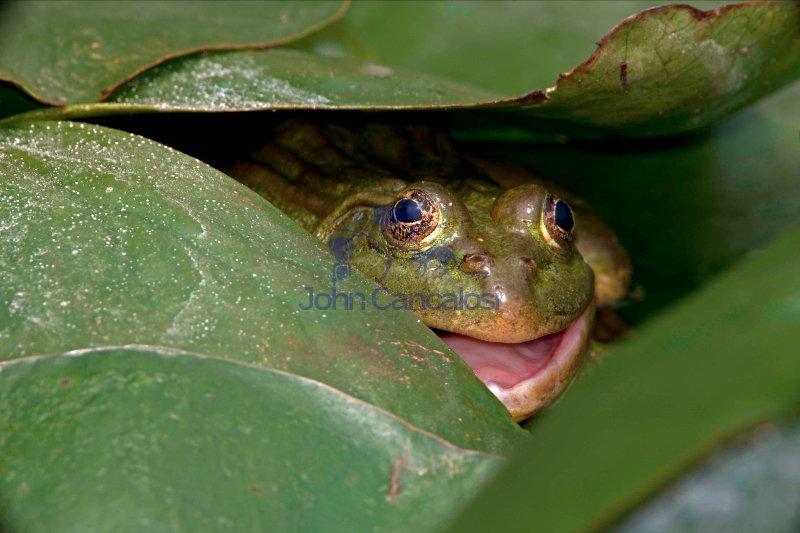 Chiricahua Leopard Frog (Rana chiricahuensis) - Arizona - USA