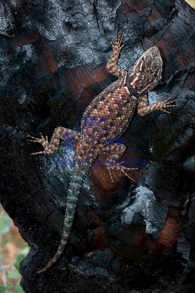 Mountain Spiny Lizard (Sceloporus jarrovi) - Arizona - USA
