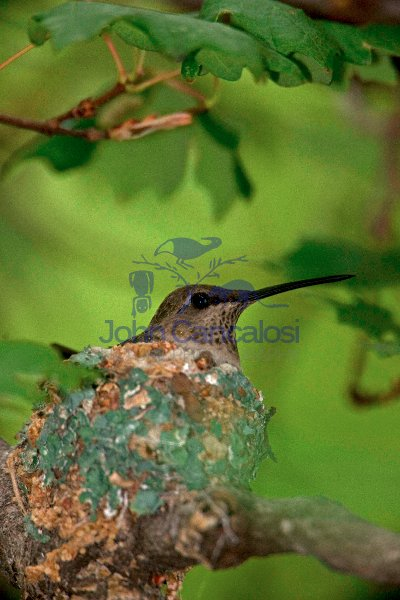 Black-chinned Hummingbird (Archilochus alexandri) - Arizona