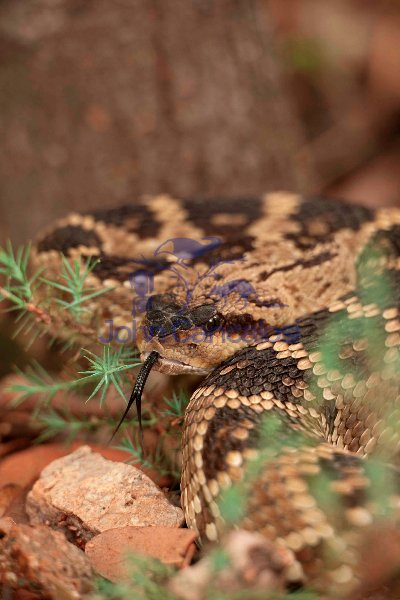 Black-tailed rattlesnake, Crotalus molossus, Chiricahua mountain