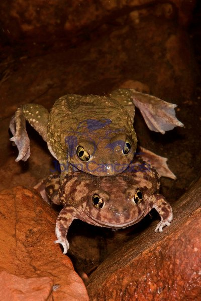 Couch\'s Spadefoot - Pair in amplexus - Arizona - USA