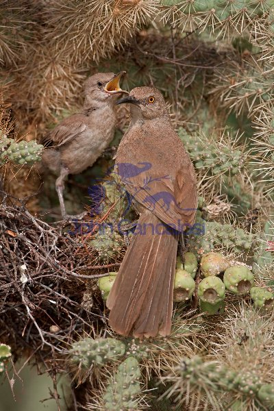 Curve-billed Thrashers (Toxostoma curvirostre) - Arizona
