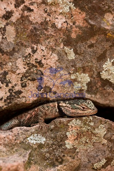 Yarrow\'s Spiny Lizard (Sceloporus jarrovii) - Arizona - USA