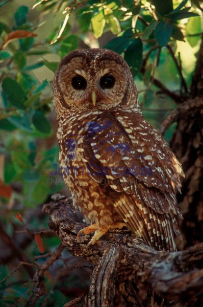 Spotted Owl (Strix occidentalis) - Arizona - USA