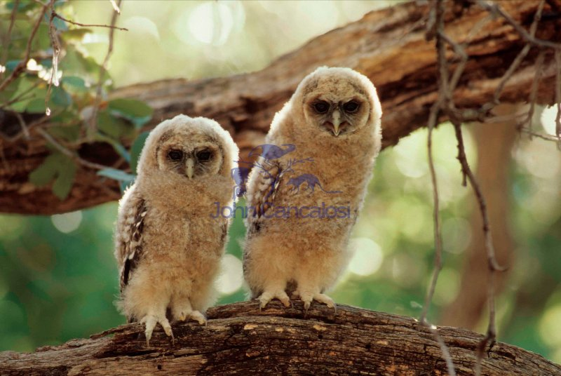 Spotted Owl Young (Strix occidentalis) - Arizona - USA