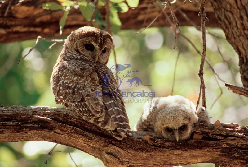 Spotted Owl Mother and Young (Strix occidentalis) - Arizona - US