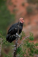 California Condor  (Gymnogyps californianus) - Perched - Mature