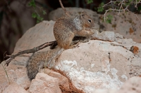 Rock Squirrel (Spermophilus variegatus) - Arizona - USA