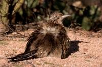 Greater Roadrunner (Geococcyx californianus) - Arizona