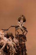 Robber Fly (prob Efferia spp)  - Arizona USA