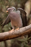 Band-tailed Pigeon (Columba fasciata) - Arizona USA