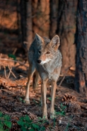 Coyote- Canis latrans- Grand Canyon National Park